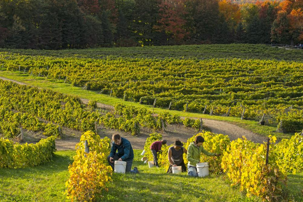 The Brome-Missisquoi Wine route harvest: ©Jean-François Bergeron