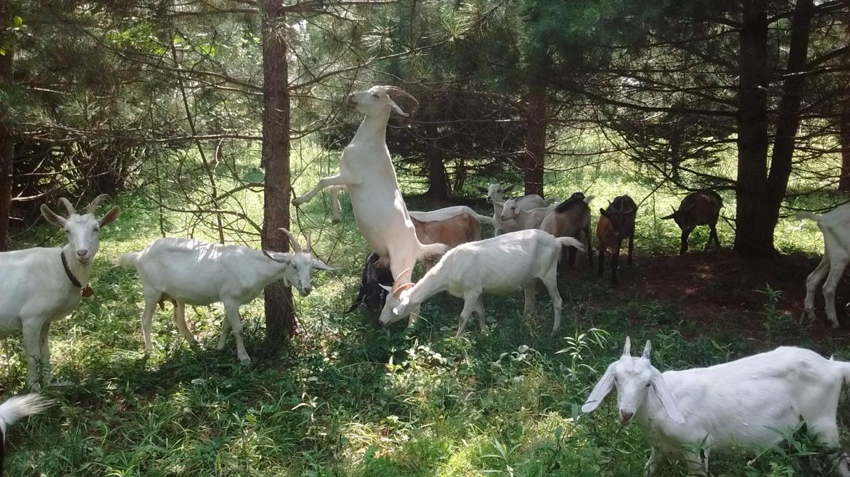 Goats in the woods: The goats love trees!