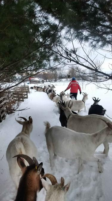 The goats in winter: The goats follow us in the snow.