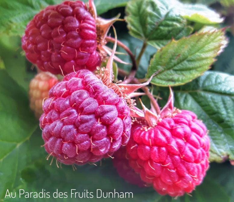 Fresh RASPBERRIES in summer and automn: