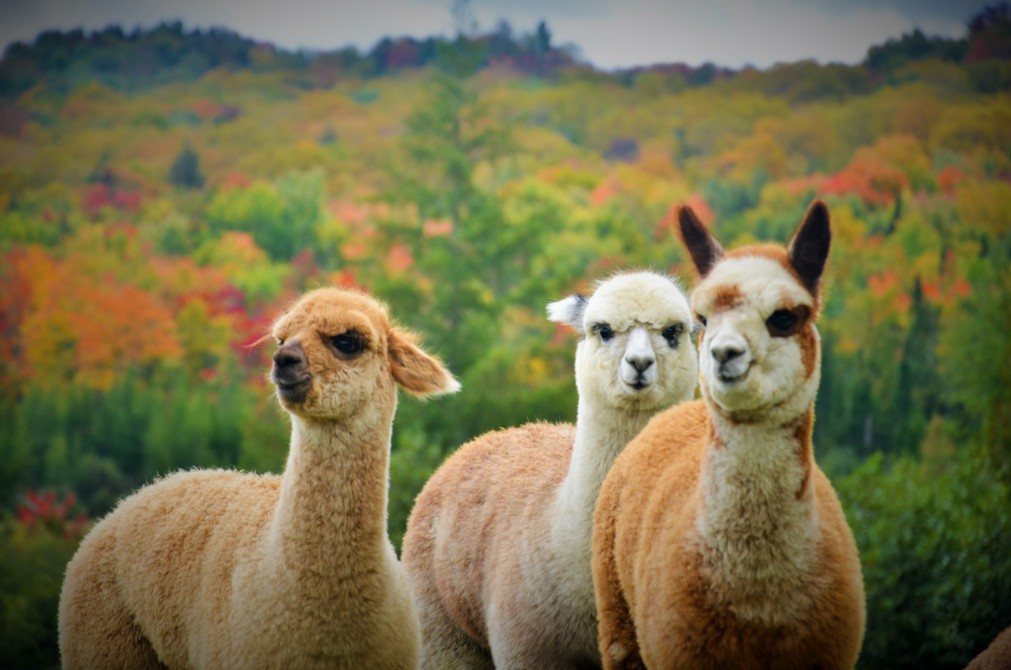 Baby alpacas during fall season: