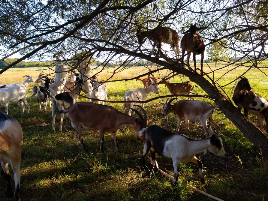 Climbing goats: Our goats like climbing in the trees.