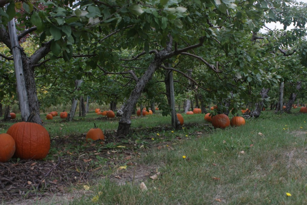U-pick pumpkins: