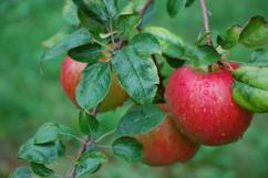 Basil-Flavoured Apples – Recipe from Diane at the Gros Pierre